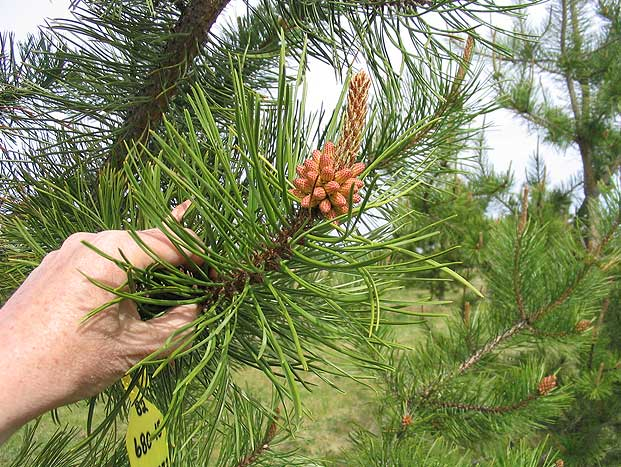 how to prepare spruce cones for planting